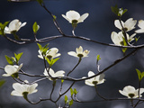 A Flowering Dogwood Tree in Yosemite National Park Fotografisk tryk af Michael Melford