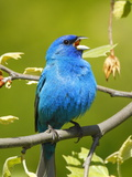 A Male Indigo Bunting, Passerina Cyanea, Singing a Territorial Song Photographie par George Grall