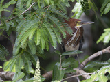 A Rufescent Tiger-Heron, Tigrisoma Lineatum, Perched in a Tree Photographic Print by Roy Toft