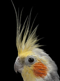 A Close View of the Head of a Cockatiel, Nymphicus Hollandicus Photographic Print by Joel Sartore
