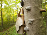 Fungi on a White Birch Tree in the High Peaks Region Photographic Print by Michael Melford