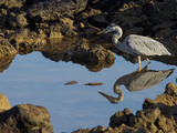 A Great Blue Heron, Ardea Herodias, in a Tidal Pool Photographic Print by Tim Laman