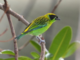 A Captive Green and Gold Tanager, Tangara Schrankii, on a Tree Branch Photographic Print by George Grall