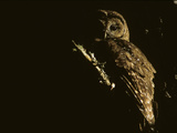 A Northern Spotted Owl, Perching in a Temperate Rainforest Tree Fotoprint van Greg Winston