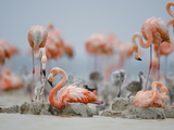 Flamingo Parents Feed their Chicks Regurgitated Crop Milk Photographic Print by Klaus Nigge