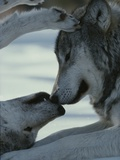 Two Gray Wolves, Canis Lupus, Touch Noses During a Tender Moment Reproduction photographique par Jim And Jamie Dutcher