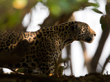 Jaguar, Panthera Onca, Walking in the Shade Photographic Print by Roy Toft