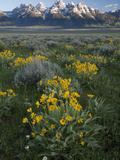 Arrowleaf Balsamroot, Balsamhoriza Sagittata, and the Teton Range Photographic Print by Greg Winston