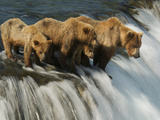 Brown Bear Family Patiently Waiting for Salmon Photographic Print by Barrett Hedges