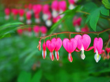 Bleeding Heart Flowers, Dicentra Spectabilis, in Bloom Photographic Print by Raymond Gehman