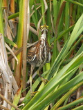 A Green Heron, Butorides Virescens, Foraging Among Wetland Cattails Photographic Print by George Grall