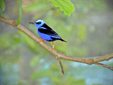 Vivid Indigo and Black Honeycreeper Struts His Stuff on a Tree Branch Photographic Print by Raymond Gehman