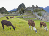 Llamas Eating on the Grounds of the Inca Ruins of Machu Picchu Photographic Print by Mike Theiss