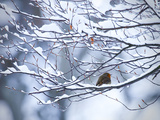 A European Robin, Erithacus Rubecula, on a Snow Covered Branch Photographie par Alex Saberi