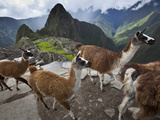 Llamas on a Road Above Machu Picchu Photographic Print by Michael Melford