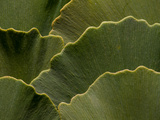 Overlapping Ginkgo Leaves, Ginkgo Biloba Photographic Print by Darlyne A. Murawski
