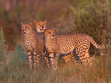 Three Cheetahs, Acinonyx Jubatus, Standing Alert in the Tall Grass Fotografisk tryk af Roy Toft
