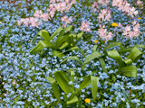 Forget-Me-Nots and Pink Azalea Flowers, in Springtime Photographie par Darlyne A. Murawski