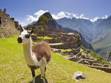 A Llama at the Pre-Columbian Inca Ruins at Machu Picchu Photographic Print by Mike Theiss