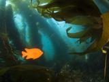 A Garibaldi Fish Swims Within the Kelp Forest Off of Catalina Island Photographic Print by Mauricio Handler