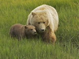 A Coastal Brown Bear, Ursus Arctos, and Cub Eating Fresh Grasses Photographic Print by Bob Smith