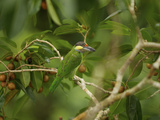 Gold-Whiskered Barbet, Megalaima Chrysopogon, in a Strangler Fig Tree Photographic Print by Tim Laman