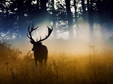 A Red Deer Buck, Cervus Elaphus, Comes Out from the Forest Photographic Print by Alex Saberi