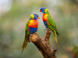 Rainbow Lorikeets, Trichoglossus Haematodus Photographic Print by Joel Sartore
