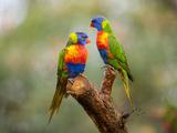 Rainbow Lorikeets, Trichoglossus Haematodus Stampa fotografica di Sartore, Joel