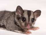 A Sugar Glider, Petaurus Breviceps Photographic Print by Joel Sartore