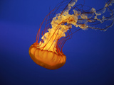 An Orange Jellyfish at the Vancouver Aquarium Photographic Print by Alison Wright