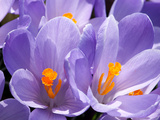 Close Up of Purple Crocus Flowers with Orange Pistil and Stamens Photographic Print by Darlyne A. Murawski