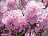 Close Up of Weeping Cherry Blossoms, Prunus Subhirtella Var. Pendula Photographie par Darlyne A. Murawski