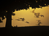 Silhouetted Canada Geese, Branta Canadensis, in Flight Photographic Print by Alex Saberi