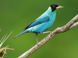 A Male Green Honeycreeper, Chlorophanes Spiza, Perched on a Branch Photographic Print by George Grall