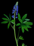 High Resolution Scan of a Lupine Flower and Leaves Photographie par Amy &amp; Al White &amp; Petteway