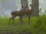 White-Tailed Deer Fawns, Odocoileus Virginianus, in a Misty Forest Photographic Print by Paul Sutherland