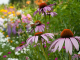 Purple Coneflower and Other Flowers in a Cape Cod Garden Photographic Print by Darlyne A. Murawski
