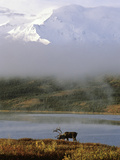 A Caribou, Rangifer Tarandus, in Denali National Park Photographic Print by Greg Winston