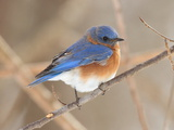 An Eastern Bluebird, Sialia Sialis, Perched on a Twig Fotografisk tryk af George Grall