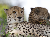 A Pair of Cheetahs, Acinonyx Jubatus, Resting Photographic Print by Roy Toft