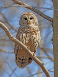 A Barred Owl, Strix Varia, Perched on a Tree Branch Lámina fotográfica por George Grall