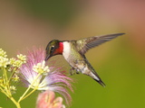 A Male Ruby-Throated Hummingbird Feeding on Mimosa Flowers Papier Photo par George Grall