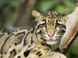 Portrait of a Clouded Leopard, Neofelis Nebulosa, a Vulnerable Species Photographic Print by Paul Sutherland