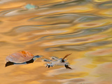 Leaves Float on the Rippling Surface of a Pond with Autumn Reflectios Photographic Print by Darlyne A. Murawski