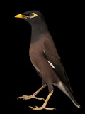 A Common Myna or Indian Myna, Acridotheres Tristis Papier Photo par Joel Sartore