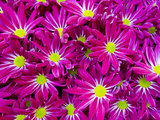 A Mass of Day-Glow Pink and Yellow Flowers at a Spring Exhibit Photographic Print by Mike Theiss