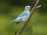 A Male Blue-Gray Tanager, Thraupis Episcopis, on a Twig Photographic Print by George Grall
