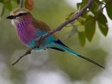 A Lilac-Breasted Roller, Coracias Caudatus, Perched on a Branch Photographic Print by Roy Toft