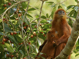 A Red Leaf Monkey Nursing Her Baby in Strangler Fig Tree Photographic Print by Tim Laman